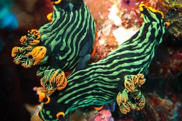 Green / Orange Nudi freak on