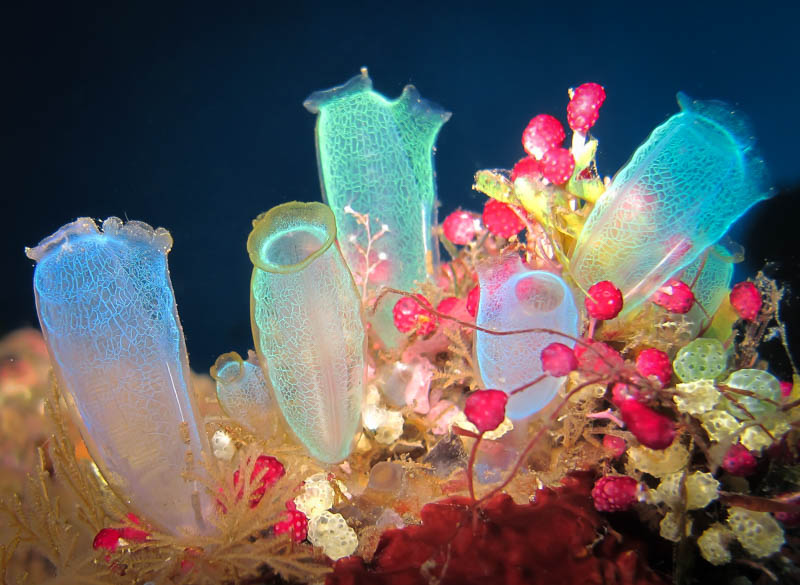 Multi colored sea squirts