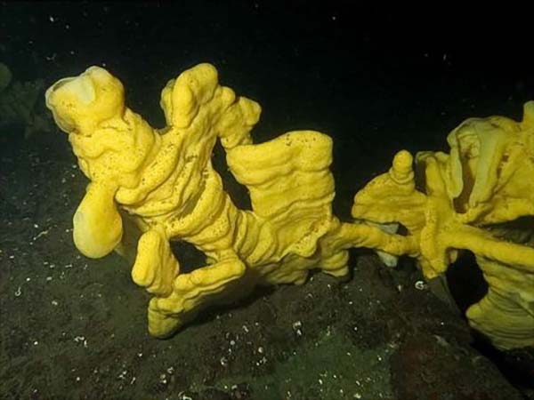 yellow glass sponge