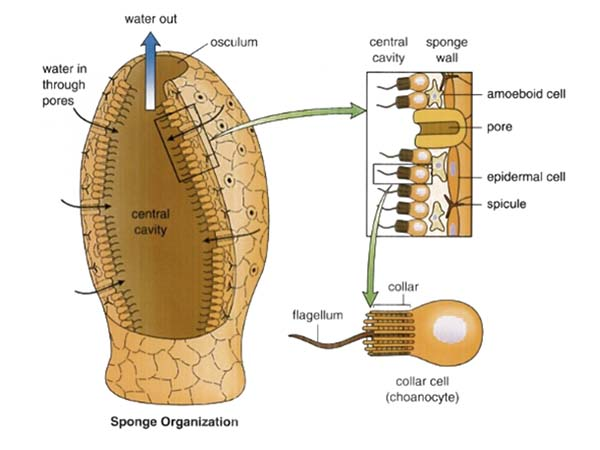 anatomical picture of a sponge