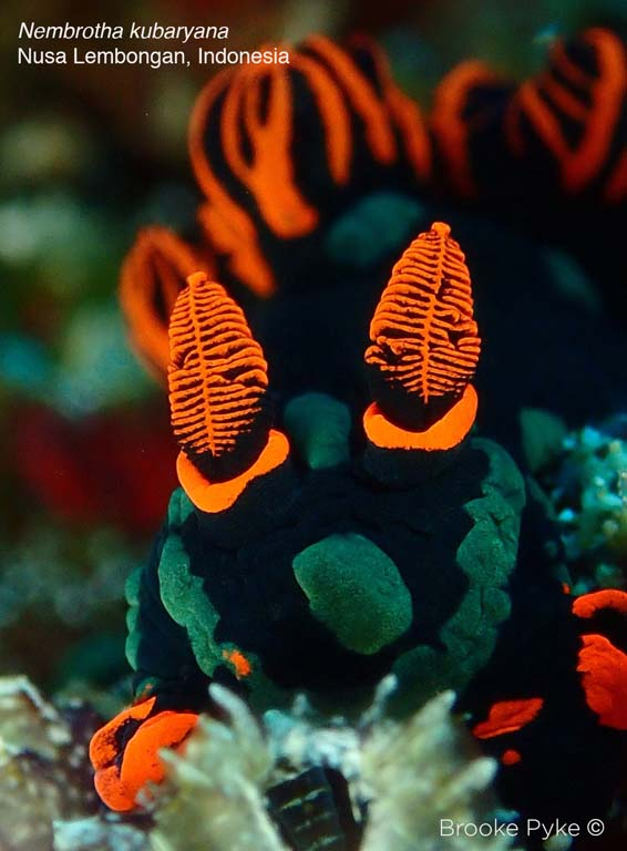 close up of Nembrotha kubaryana