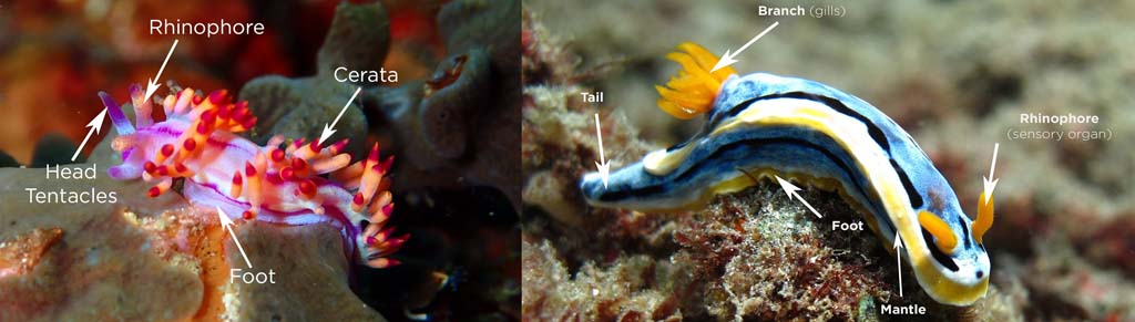 blow up of nudibranch anatomy