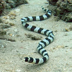 Picture of a snake eel