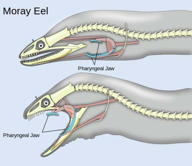 Diagram of eel jaws