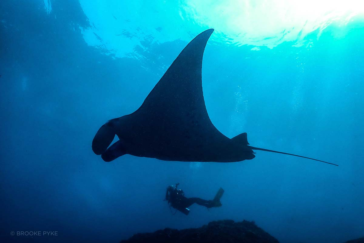 Manta ray and a diver