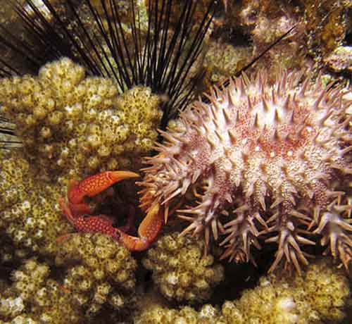 Crab fending off sea star