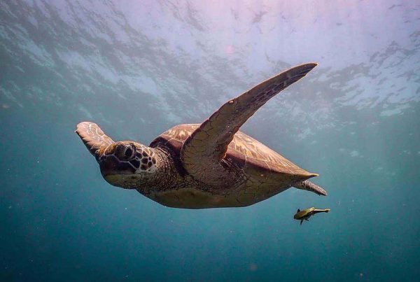 A turtle being followed by a remora