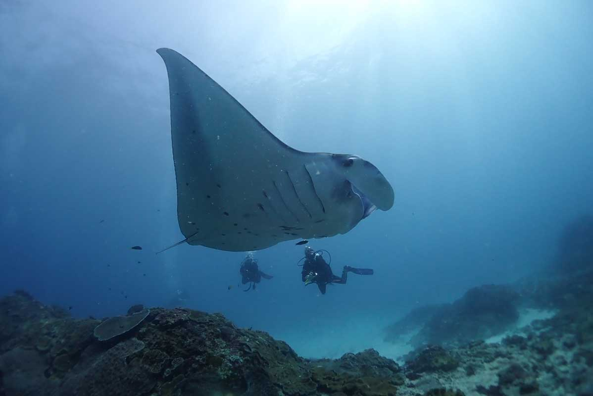 Manta glides past divers